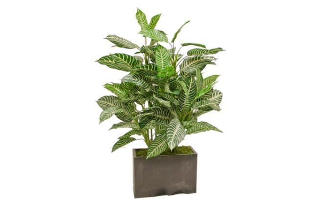 3' Zebra Leaf Tree